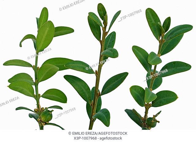 Boj Buxus sempervirens