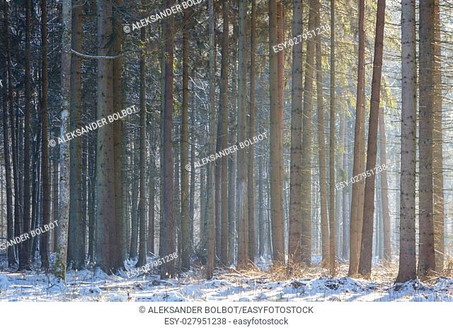 Spruce stand in winter with mist in morning sun over snow, Bialowieza Forest, Poland, Europe