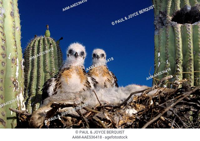 Red-tailed Hawk Chicks in Saguaro Nest (Buteo jamaicensis)