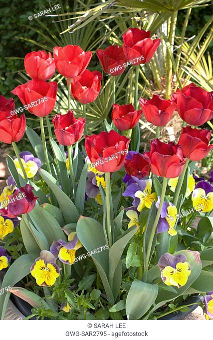 TULIPA 'ILE DE FRANCE' UNDERPLANTED WITH WINTER PANSIES