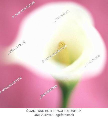 feminine white calla lily on pink, soft focus and romantic