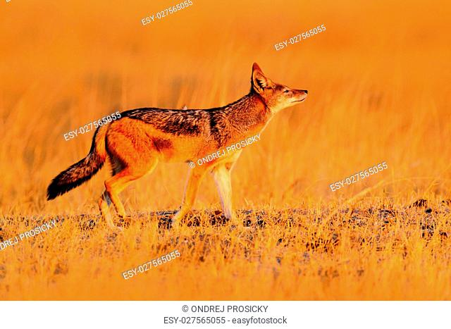 Jackal with evening sun. Black-Backed Jackal