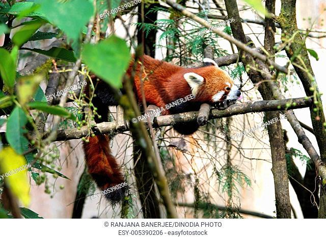 Red Panda ailurus fulgens ; Darjeeling zoo ; West Bengal ; India