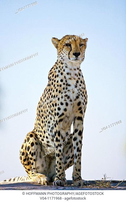 Cheetah (Acinonyx jubatus) in Botswana, Africa