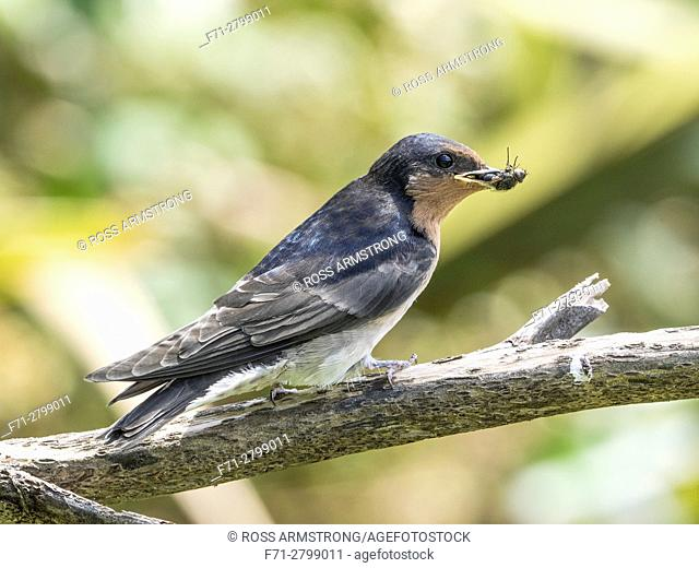 Young welcome swallow (Hirundo neoxena) holding a fly in its beak. Barge Park, Whangarei, New Zealand