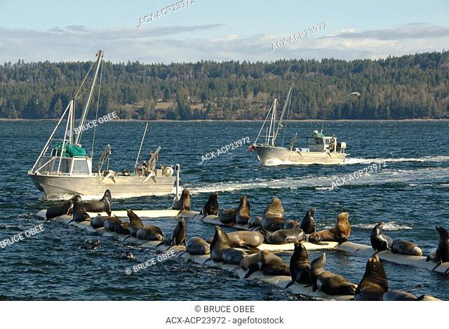Spring herring spawns attract fishboats and sea lions to Fanny Bay, on Vancouver Island, British Columbia, Canada