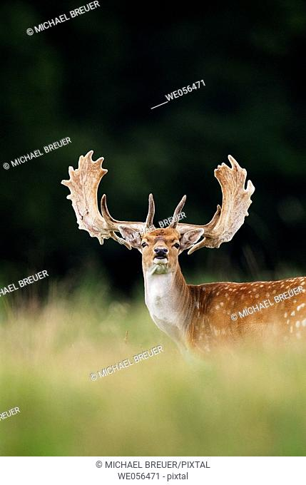 Fallow deer (Cervus dama) in August. Denmark