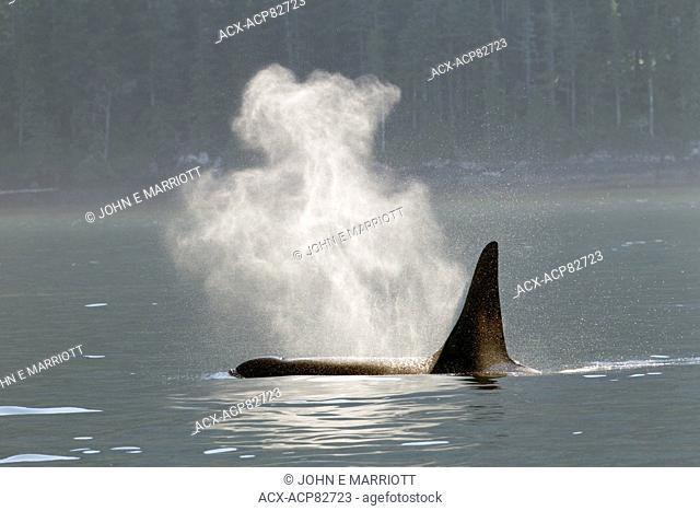 Orca in Johnstone Strait near Telegraph Cove, BC, Canada