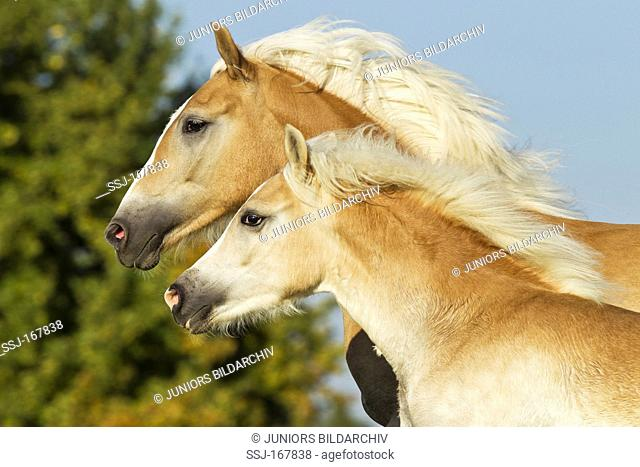 Haflinger Horse. Portrait of a mare and her foal