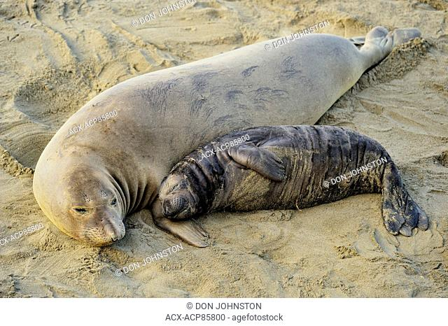 Northern elephant seal (Mirounga angustirostris) Female sleeping with pup in beach breeding rookery, San Simeon, Piedras Blancas Rookery, California, USA