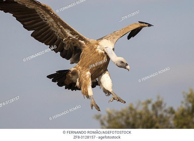 Griffon Vulture at Faia Brava Reserve, Portugal