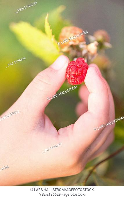 Close up of hand of child picking ripe raspberry on bush in garden
