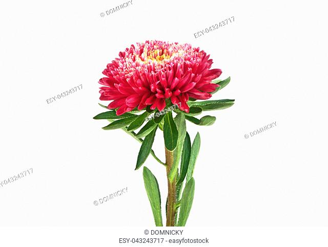 Red aster isolated on a white background