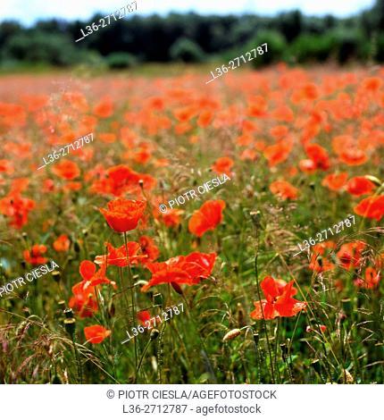 Poppies. Poland