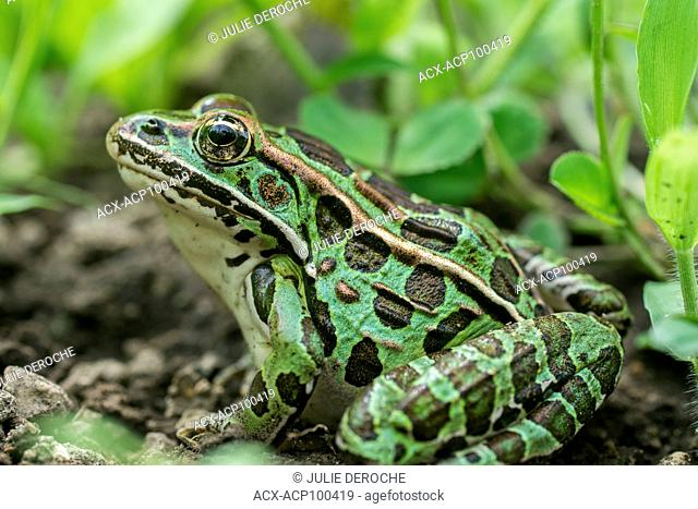 Northern leopard frog, north eastern Ontario, Canada
