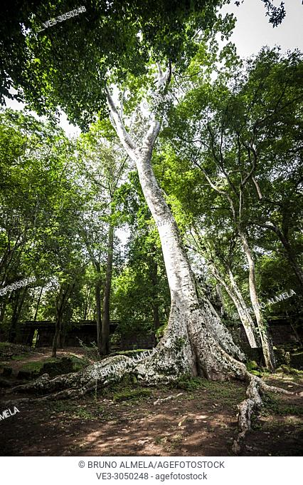 A big tree in Angkor Thom complex (Siem Reap Province, Cambodia)