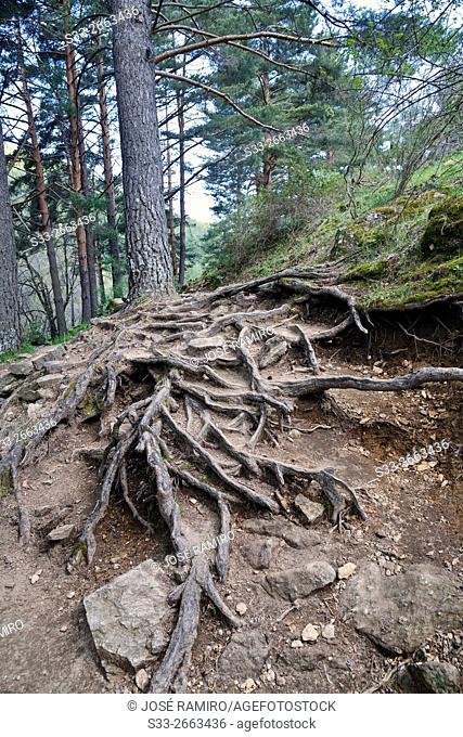 Roots in the Aguilon stream path. Sierra de la Morcuera. Rascafria. Madrid. Spain. Europe