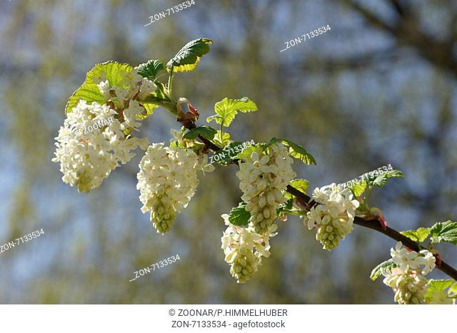 Blood currant red flower currant red flowering currant ribes white flowering currant mightylinksfo