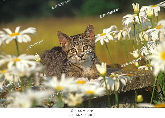 kitten - lying between flowers