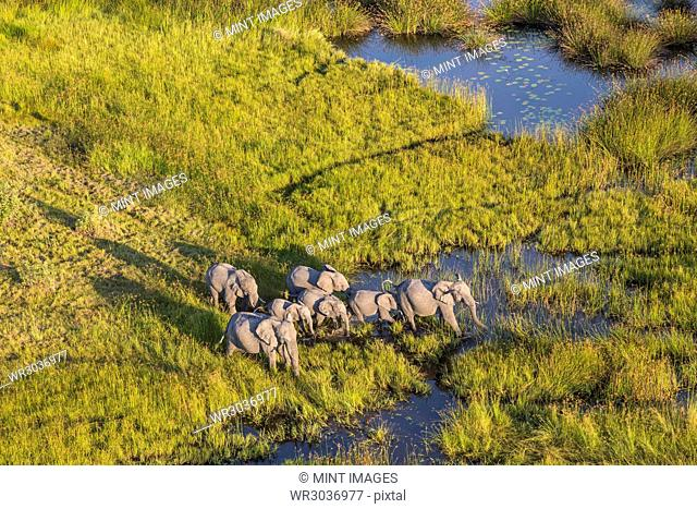 Aerial view of herd of African Elephants standing by a watering hole in lush delta