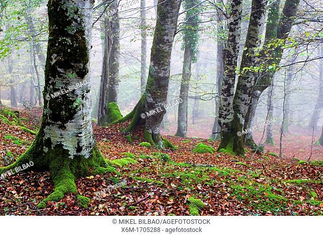 beechwood in autumn  Saja-Besaya Natural Park  Cabuerniga valley  Cantabria, Spain