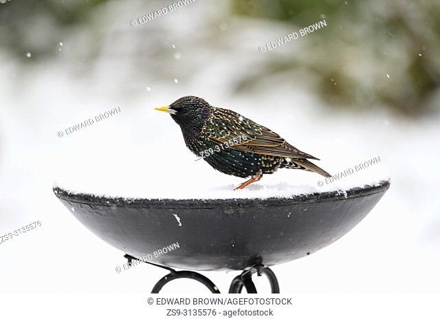 A Starling (Sturnus vulgaris) sits on a bird bath after fresh snow fall, East Sussex, UK