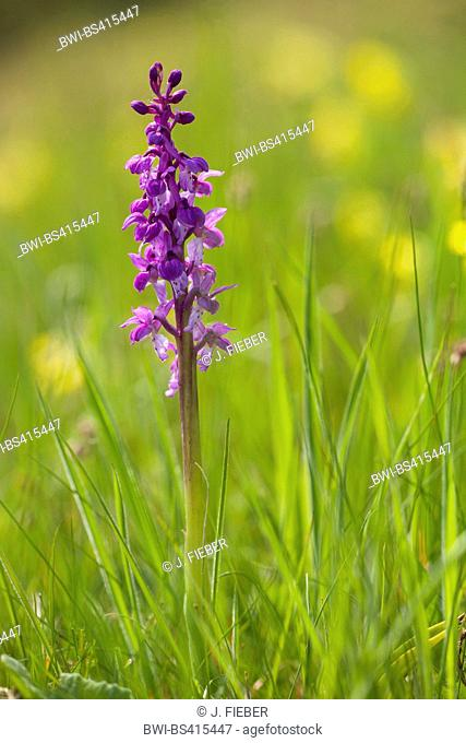 early-purple orchid (Orchis mascula), blooming in a meadow, Germany, Hesse