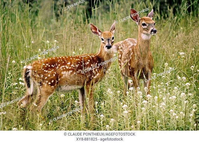 Deer-fawns
