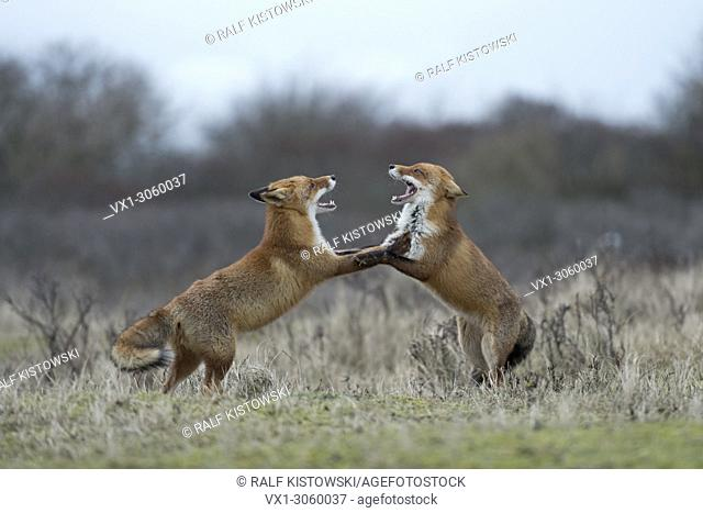Red Foxes (Vulpes vulpes) in fight, fighting, standing on hind legs, threatening with wide open jaws, while rutting season, wildlife, Germany, Europe