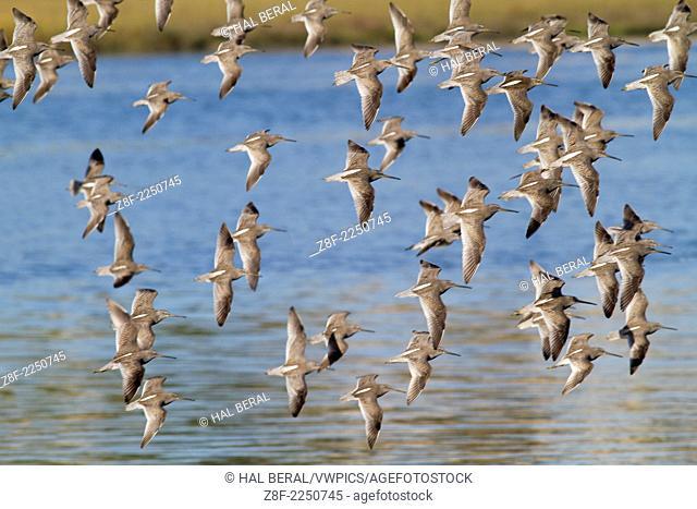 Flock of Short-Billed Dowitchers in flight.(Limnodromus griseus).Back Bay Reserve,California