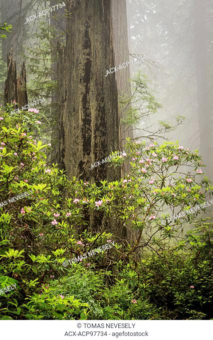Redwoods and rhododendrons along the Damnation Creek Trail in Del Norte Coast Redwoods State Park, California, USA , California, USA