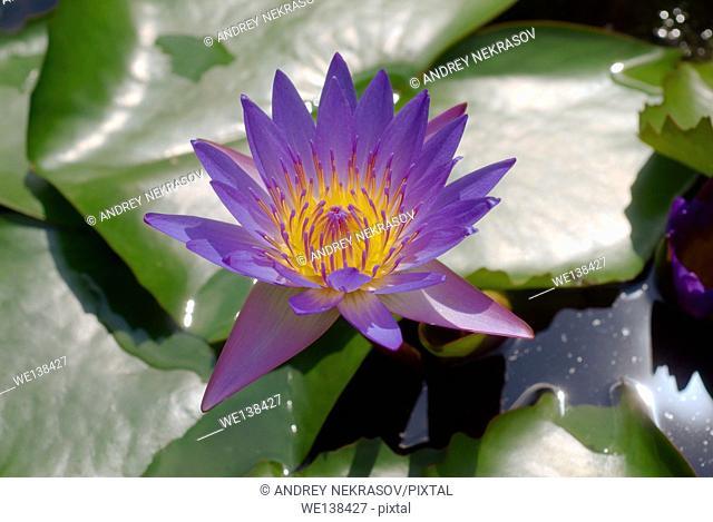 Blue Lotus, water lily (Nymphaea caerulea), Kuala Lumpur, Malaysia, Southeast Asia