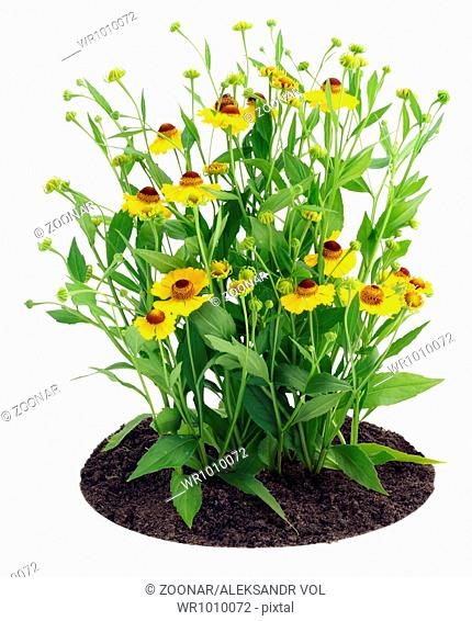 Bush of Coreopsis flowers on bed