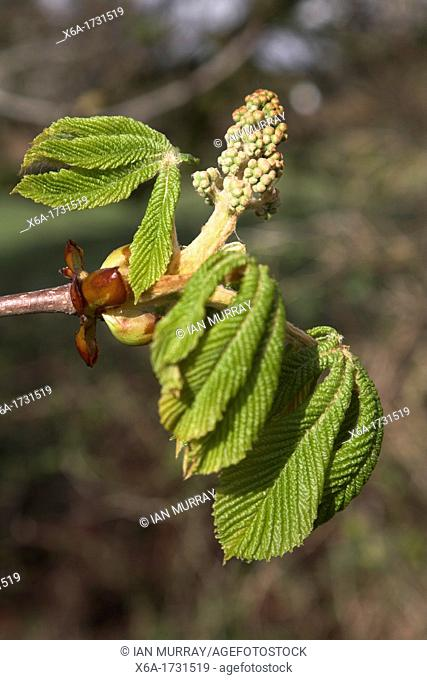 Horse chestnut, aesculus hippocastanum, tree bud and new spring leaves, Suffolk, England
