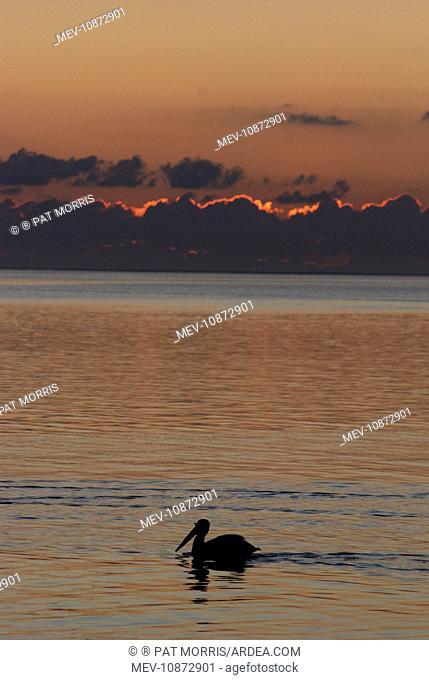 White Pelican - On water at dawn (Pelecanus erythrorhynchos). Texas coast USA