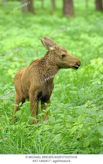 Moose, Calf, Alces alces, Summer, Europe