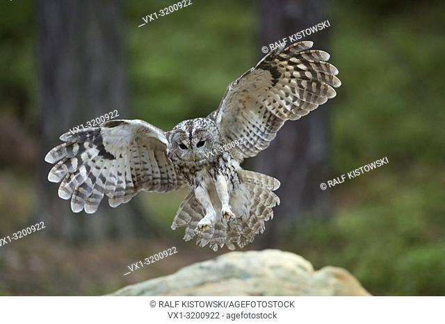 Tawny Owl ( Strix aluco ) landing on a rock, wide open wings, spreading its wings, in flight, frontal view, angel-like pose