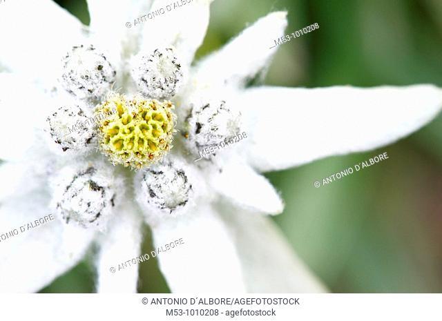 Close up of a Edelweiss Leontopodium alpinum flower