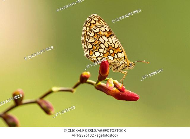 An exemplary of melitaea butterfly laid on a red flower still closed. Montevecchia,Lecco,Lombardy,Italy,Europe