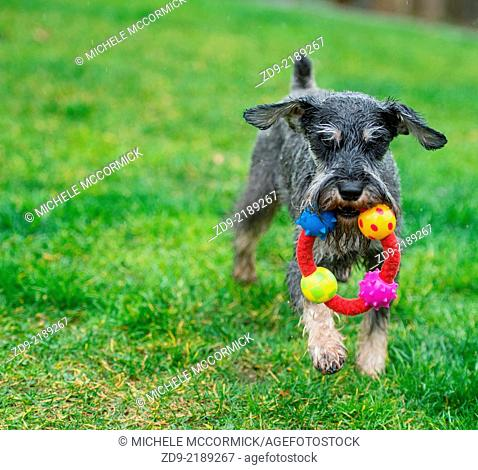 A miniature schnauzer cavorts in the rain with his toy