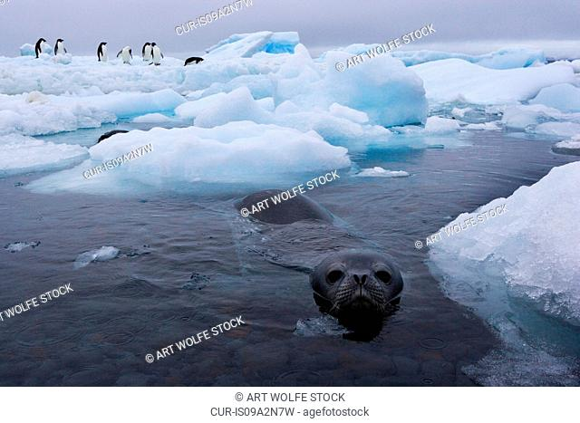A Weddell Seal swims near an iceberg with a group of Adelie Penguins on it, Antarctica