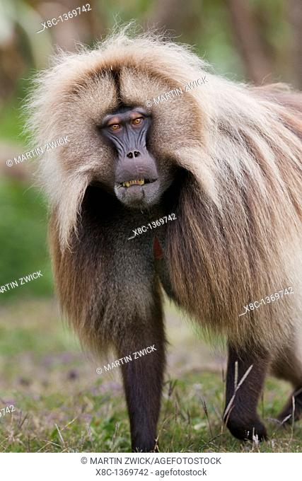 Gelada, Gelada Baboon or Ethiopian Lion Theropithecus gelada in the Simien Mountains National Park in Ethiopia  Geladas are an endemic primate species living in...