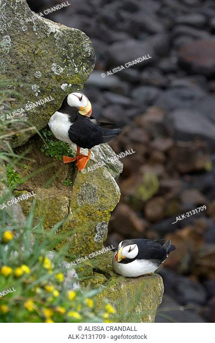 Two Horned Puffins Perched On A Cliffside On St. Paul Island Of The Pribilof Islands In Southwest, Alaska