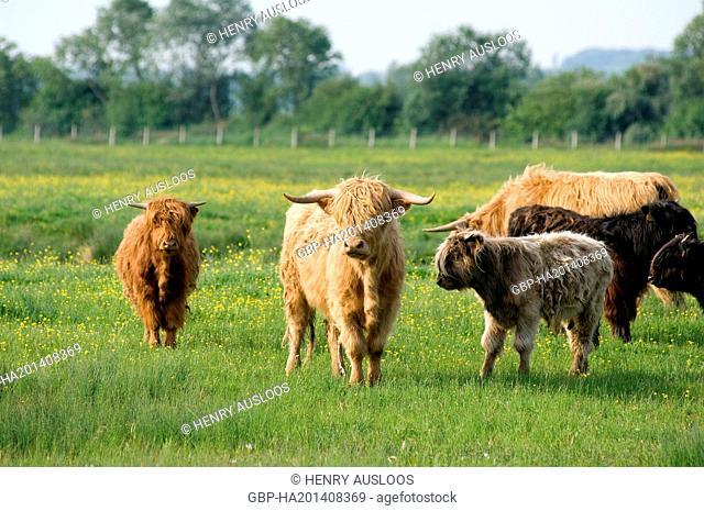 United Kingdom, Highland, Scottish, cow, Bos taurus