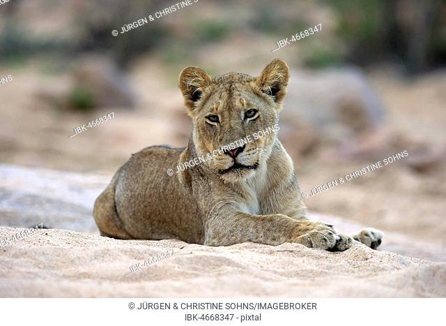 Lion (Panthera leo), adult female, attentive, observing, sitting in dry riverbed, Sabi Sand Game Reserve, Kruger National Park, South Africa