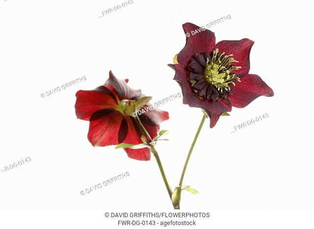 Hellebore, Open black hellebore flower head on a stem, with a second flower in back view, against a pure white background