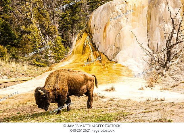 A large bull bison walks beside colorful Orange Spring Mound geyser at Mammoth Hot Springs in Yellowstone Park