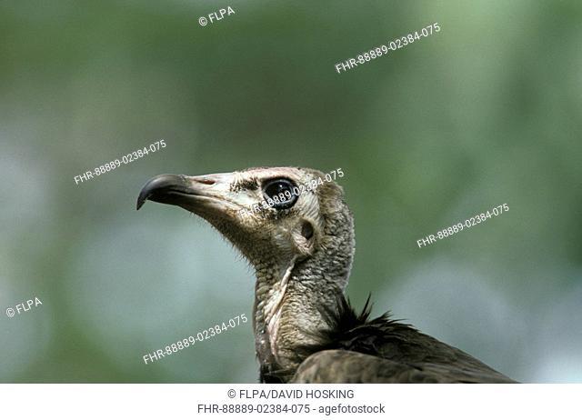 Hooded Vulture Necrosyrtes monachus head