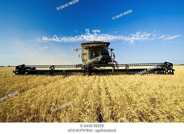 a combine harvester works in a winter wheat field , near Lorette, Manitoba, Canada