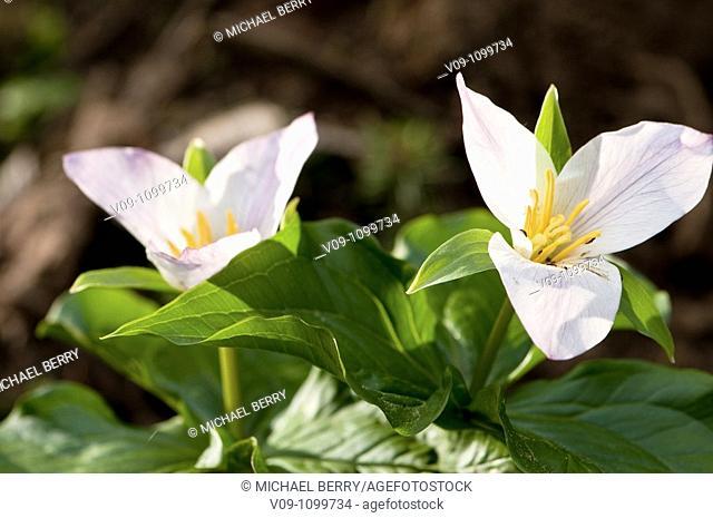 Trillium blossom